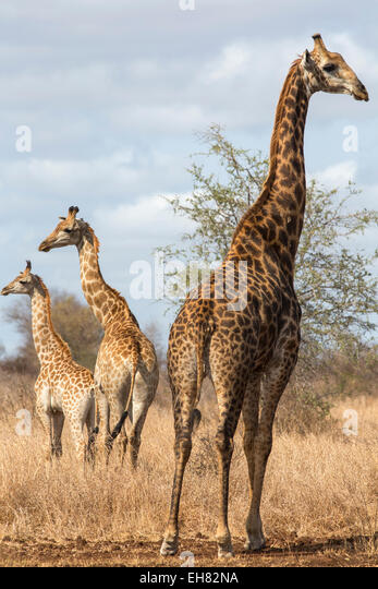 Giraffe (Giraffa camelopardalis), Kruger National Park, South Africa, Africa - Stock Image