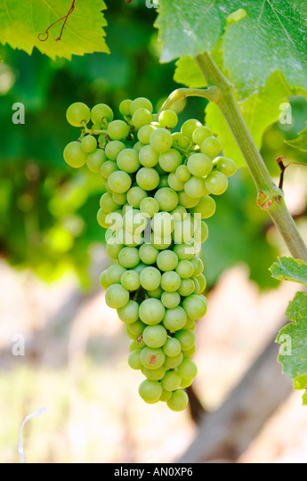 Grape bunch. Tempranillo grape variety. Kantina Miqesia or Medaur winery, Koplik. Albania, Balkan, Europe. - Stock Image