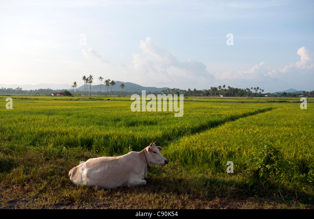 Cow and rice paddies in the sunlight, Lankawi Island, Malaysia, Asia - Stock Image