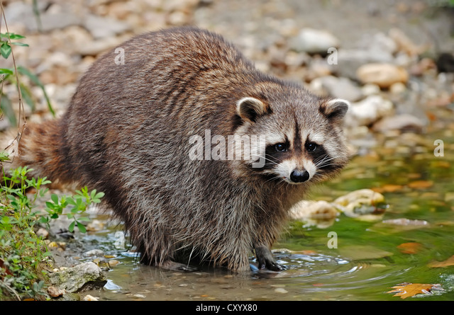 Raccoon (Procyon lotor), found in North America, captive, the Netherlands, Europe - Stock Image