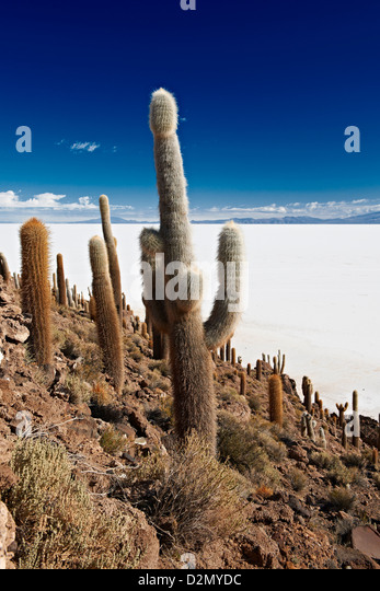 very old gigantic cacti, Trichocereus pasacana, on Incahuasi Island, salt lake Salar de Uyuni - Stock Image