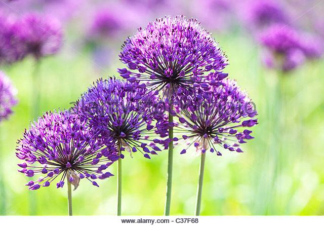 Allium hollandicum 'Purple Sensation'. Ornamental Onion flowers - Stock Image