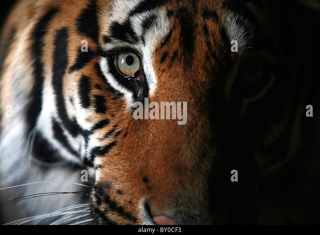 TIGER AT THE WILDLIFE HERITAGE FOUNDATION IN KENT - Stock-Bilder