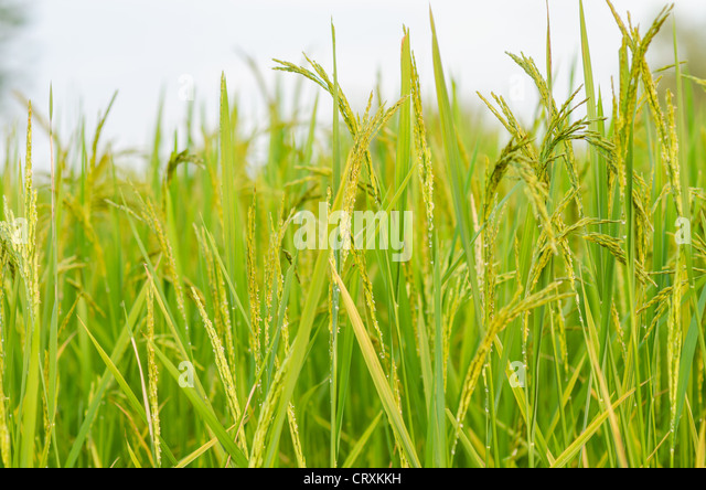 Rice field in farmland food of Asia - Stock Image