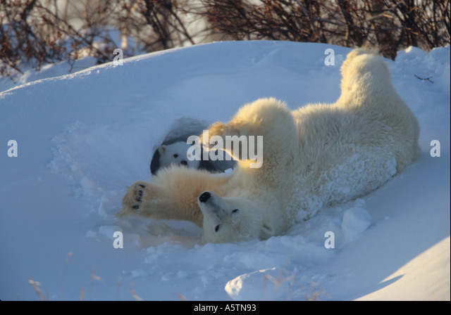 Polar bear mother sliding on her back near her den with a cub peeking out of entrance - Stock Image