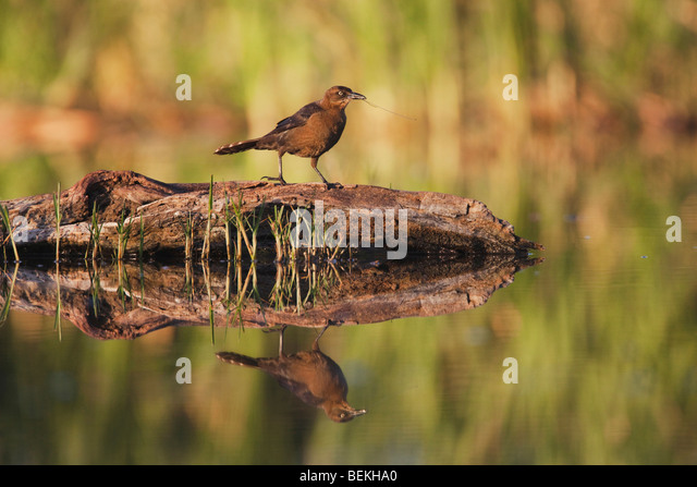 Great-tailed Grackle (Quiscalus mexicanus), female with nesting material, Welder Wildlife Refuge, Sinton, Texas, - Stock Image