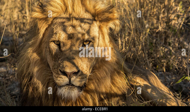 Namibia, Etosha, Scarface lion of Okaukuejo - Stock Image