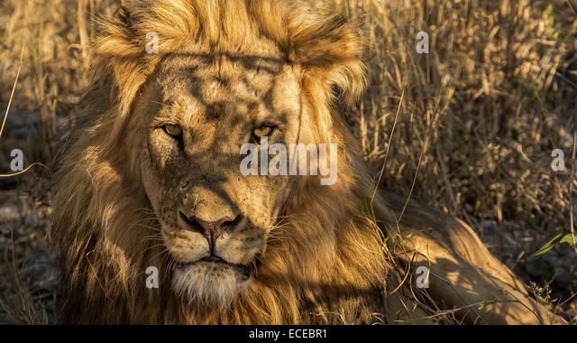 Namibia, Etosha, Scarface lion of Okaukuejo - Stock Image