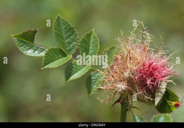 Robin's Pincushion (Diplolepis rosae) gall, on rose stem, Llanymynech Rocks Shropshire Wildlife Trust England - Stock Image