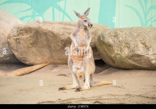 Red Kangaroo, Macropus Rufus - Stock Image