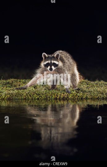 Northern Raccoon (Procyon lotor), adult at night at pond, Dinero, Lake Corpus Christi, South Texas, USA - Stock Image
