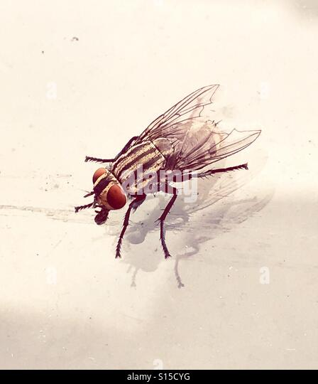 Picture of horse fly or housefly on car windshield - Stock-Bilder