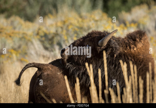Bull bison trying to scratch its back - Stock Image