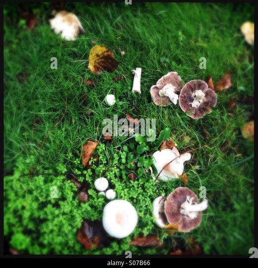 Wild mushrooms in a park - Stock Image