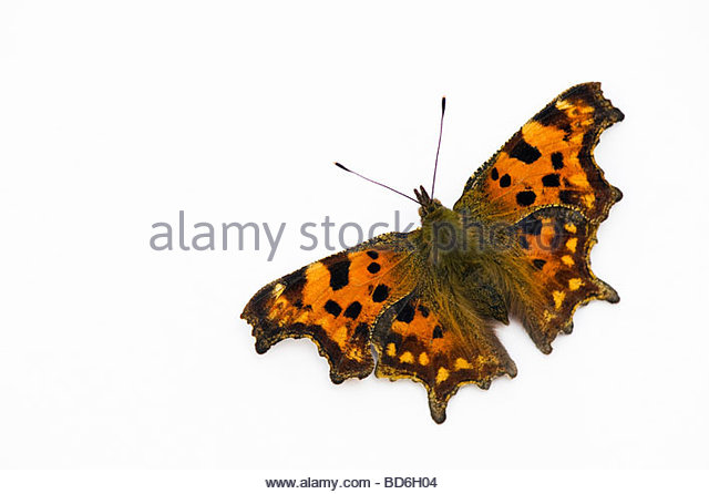 Polygonia c-album. Comma butterfly on a white background - Stock Image