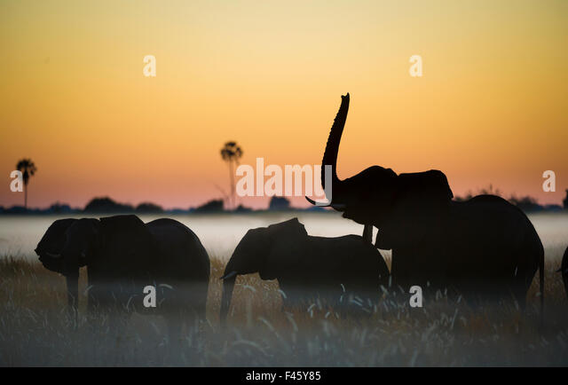 Group of African elephants (Loxodonta africana) silhouetted at sunrise, Okavango Delta, Botswana. - Stock-Bilder