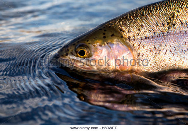 fly fisherman holding a freshly caught rainbow trout - Stock Image
