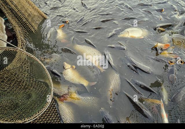 how to breed carp fish