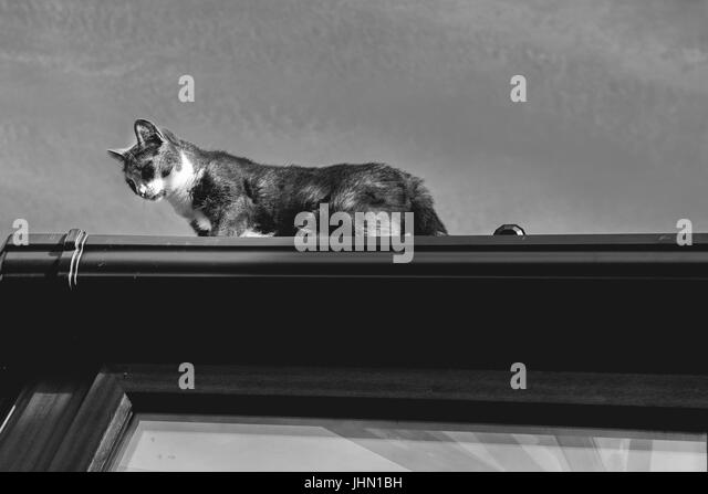 grey and white small cat walking on the top of a roof - Stock Image