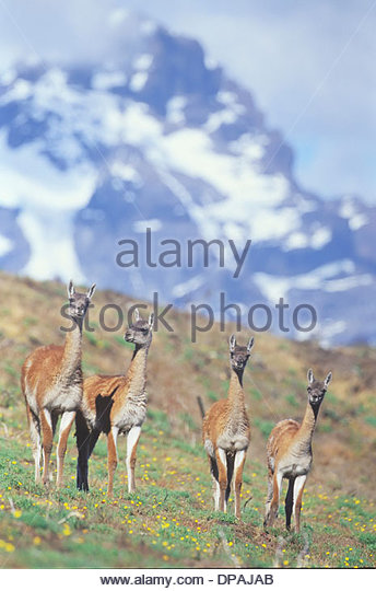 Four guanacos, Torres del Paine National Park, Patagonia, Chile - Stock Image