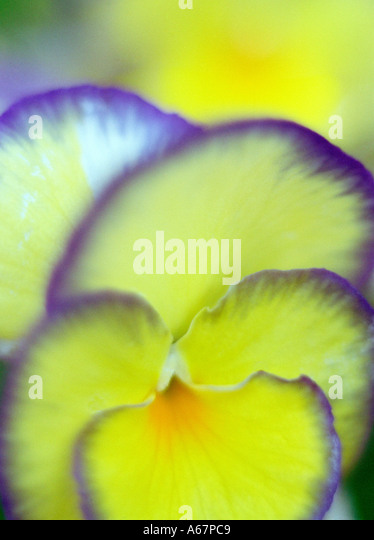 A Pansy - Stock Image