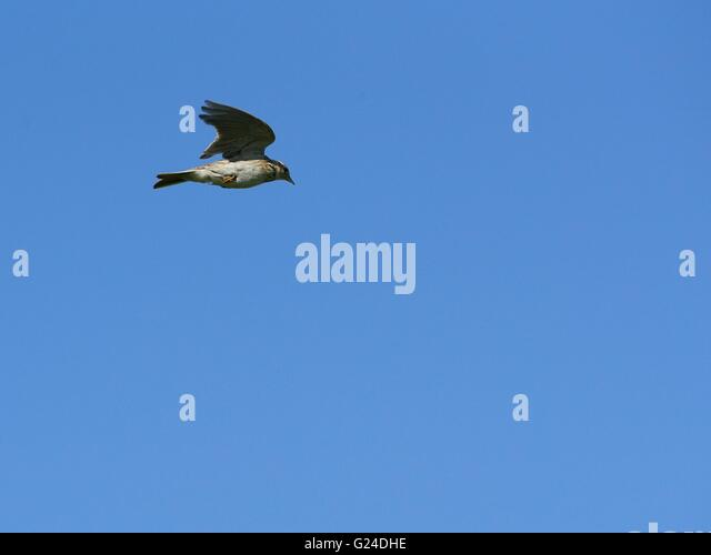 Skylark in mid air singing as it climbs vertically - The Lark Ascending - Stock Image