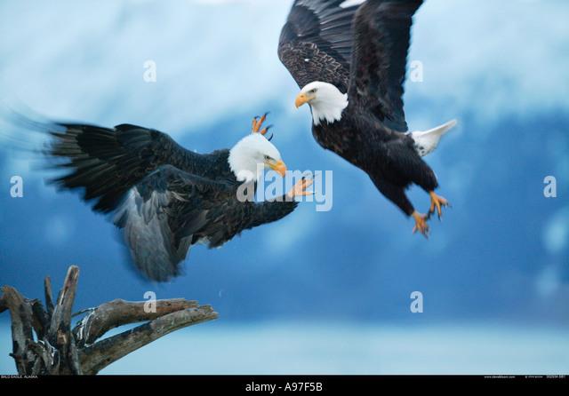 Bald Eagles Fighting Alaska - Stock-Bilder