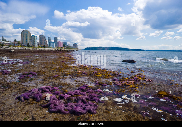 Purple starfish on the beach, West Vancouver, British Columbia, Canada - Stock Image