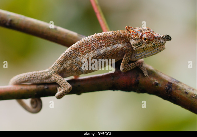 Male Big-nosed Chameleon (Calumma nasutum) displaying in the rainforest of Ranomafana National Park, eastern Madagascar - Stock-Bilder