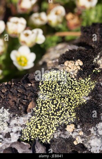 Patches of vivid green on a black lichen on an island near Hamiltonbreen, Spitzbergen - Stock Image