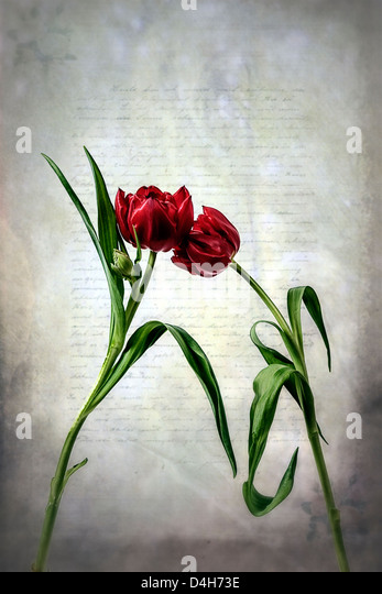 two red tulips on an old letter - Stock-Bilder