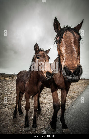 Portrait of two horses standing by road - Stock Image