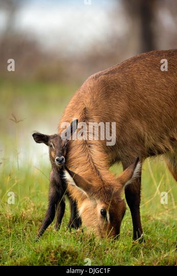 Waterbuck (Kobus ellipsiprymnus)Mother with newly born calf .Lake Nakuru National Park.Kenya - Stock-Bilder