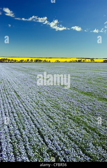 Flowering flax field with canola in the background, Tiger Hills near Somerset, Manitoba, Canada - Stock Image
