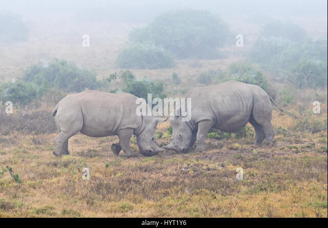 Baby rhinos playing - Stock Image
