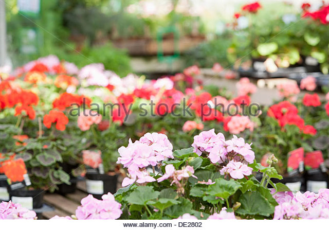 Flowers at nursery - Stock Image