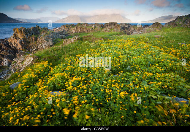 Flowering meadow at Runde island on the Atlantic west coast, Møre og Romsdal, Norway. - Stock-Bilder