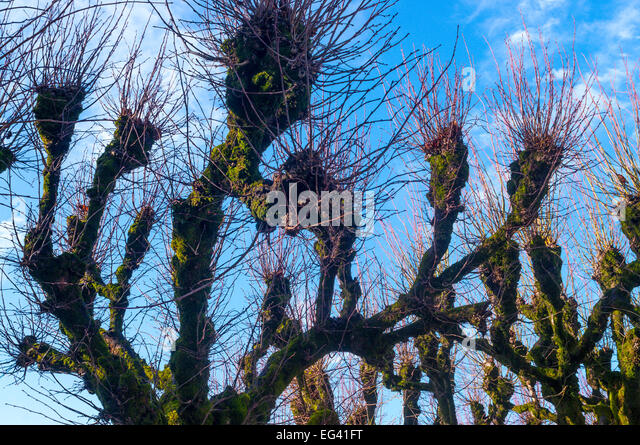 Tilleul trees with previous year's branches awaiting pruning - France. - Stock Image