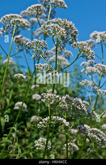 Common valerian, Valeriana officinalis, flowering beside the Kennet and Avon Canal, July - Stock Image
