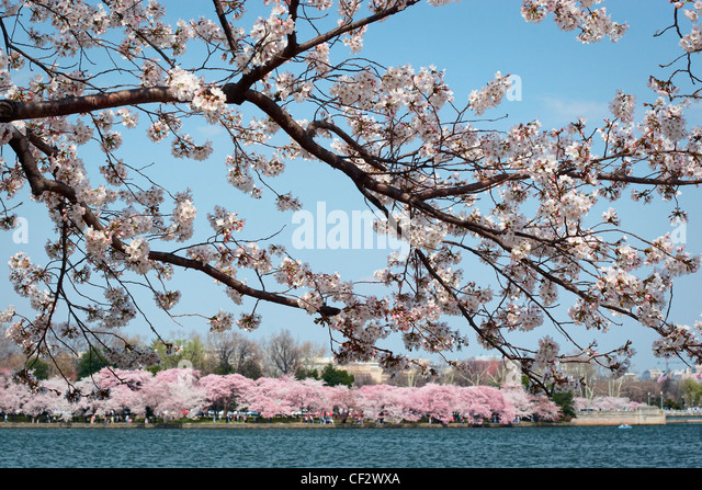 Japanese cherry blossom trees in bloom along the perimeter of the Tidal Basin; Washington; DC. - Stock Image