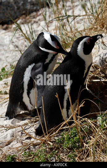 african penguin spheniscus demersus near boulders beach on the false bay cape town western cape province south africa - Stock Image