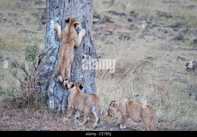 Three African Lion Cubs, Panthera leo, One trying to climb a tree, Masai Mara National Reserve, Kenya - Stock Image