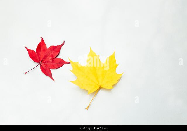 Japanese Maple leaf (Acer palmatum) and maple leaf (acer) on white surface, close-up - Stock-Bilder