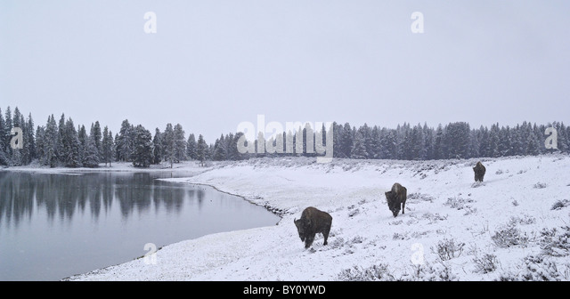 American Bison traveling along a wintry lakeshore in Yellowstone National Park. - Stock-Bilder