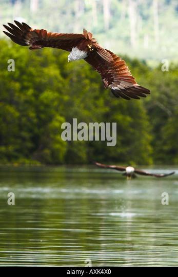 Eagle Brahminy Kite Langkawi Malaysia animal body bird wings span spread beak eye feathers high swoop down to water - Stock Image
