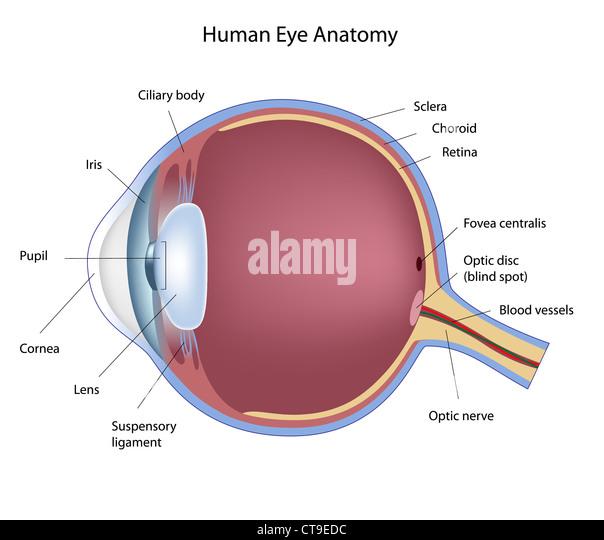 eye lens diagram stock photos eye lens diagram stock. Black Bedroom Furniture Sets. Home Design Ideas