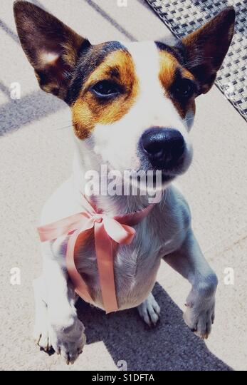 Jack Russell Terrier dog standing up on two legs. Natural light. - Stock Image
