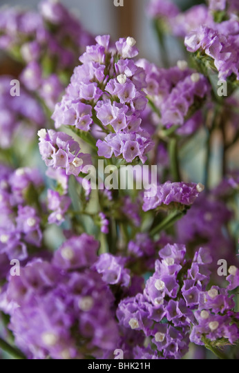 Close up of an purple flower - Stock Image