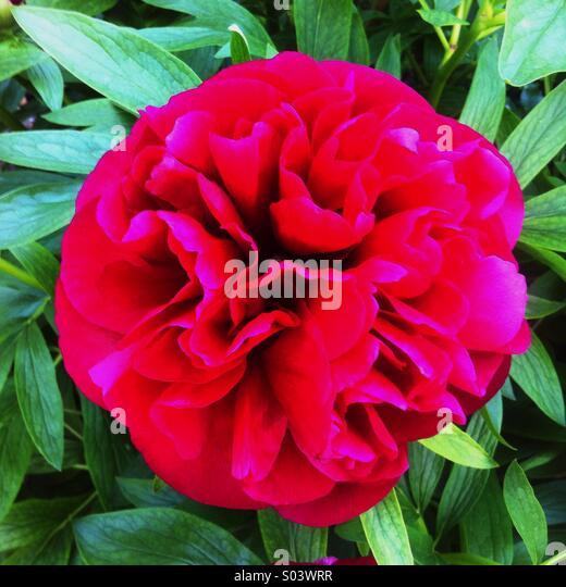 Peony flower in full bloom - Stock Image