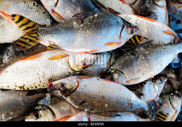 Amazon fish stock photos amazon fish stock images alamy for Fish of the amazon